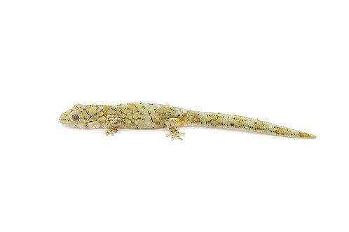 Eurydactylodes vieillardi (Male) - EV44