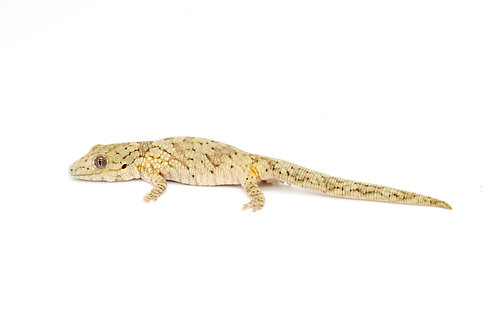 Eurydactylodes vieillardi (Female) - EV47