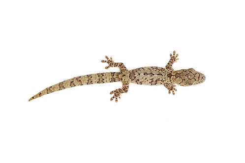 Eurydactylodes vieillardi (Male) - EV31