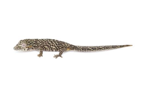 Eurydactylodes vieillardi (Female) - EV53