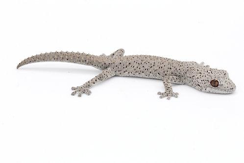 Strophurus williamsi (Unsexed) - SW10