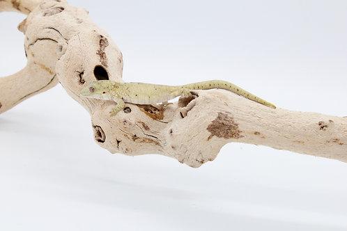 E. vieillardi (male - EV29)