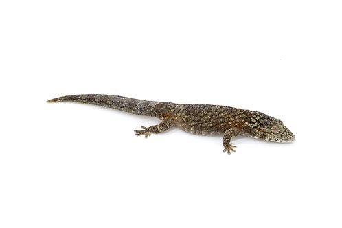 Eurydactylodes agricolae (Male) - EA40