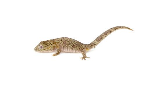 Eurydactylodes agricolae (Female) - EA31