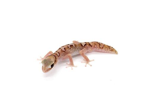 Diplodactylus galeatus (Male) - DG1