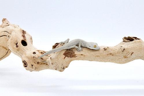 Strophurus rankini (male) - SR1
