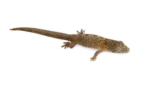 Eurydactylodes agricolae (Female) - EA51