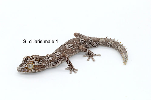 Stropurus ciliaris PAIR