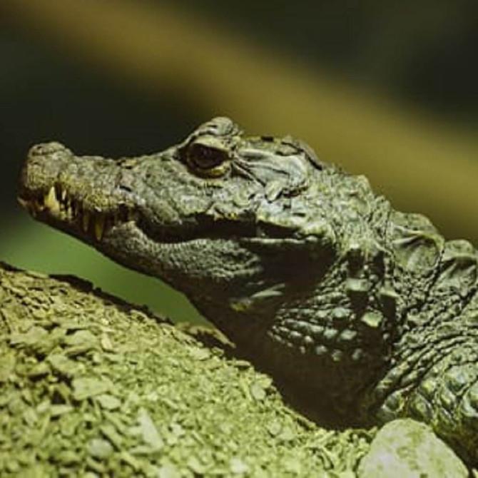 Crocodiles of the World Drawing Class