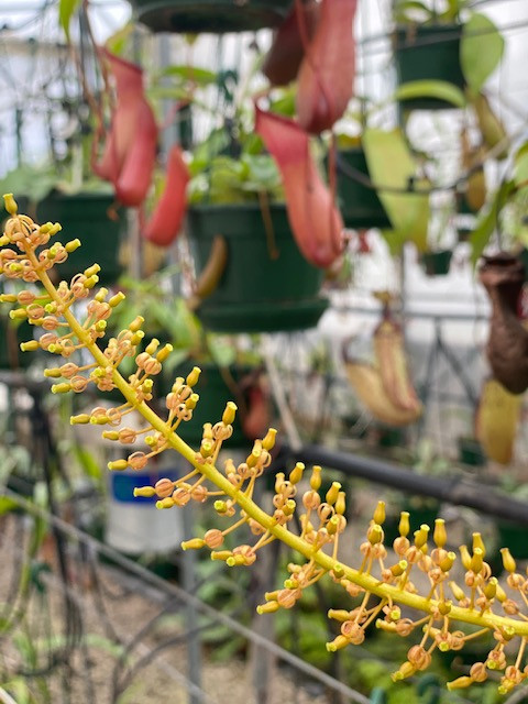 Nepenthes 'female' flower.jpg