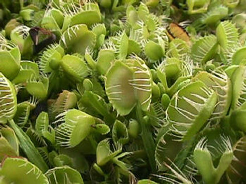 Dionaea muscipula 'Cross Teeth' $8
