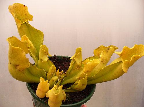 Sarracenia purpurea f. heterophylla $25