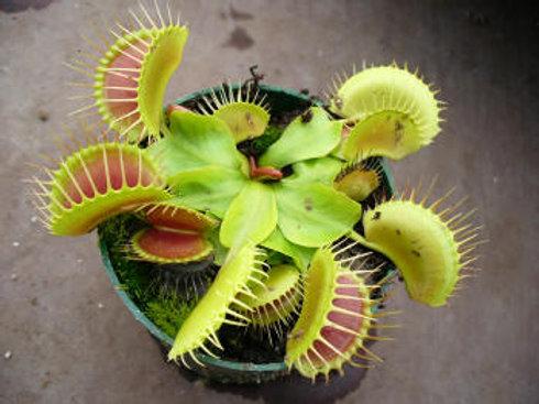 Dionaea muscipula 'Low Giant' $8
