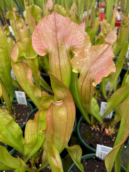 Sarracenia x mitchelliana x (purpurea x oreophila) $16