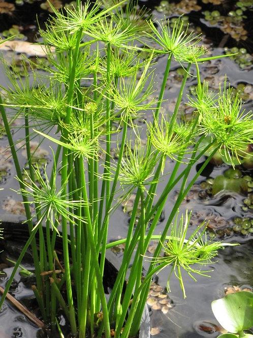 Dwarf Papyrus Grass - Cyperus prolifera