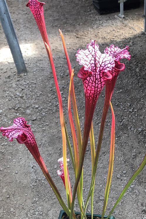 Sarracenia leucophylla cv. 'Ruby Joyce' $20