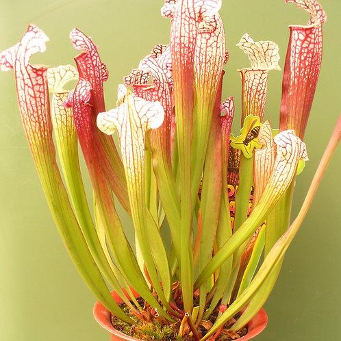 Sarracenia leucophylla x 'Umlauftiana'  $20