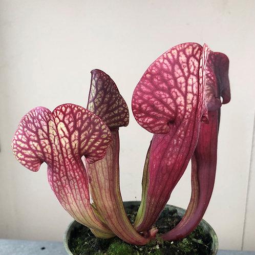 Sarracenia purpurea x (rubra x flava) $16