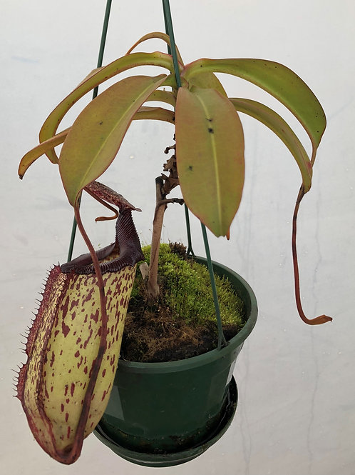 Nepenthes 'Gothica' $30