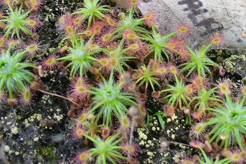 Pygmy Drosera dichrosepala $7