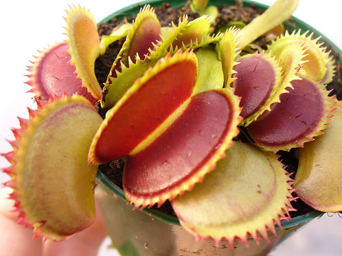 Dionaea muscipula 'Sharks Teeth' x 10 plants $75