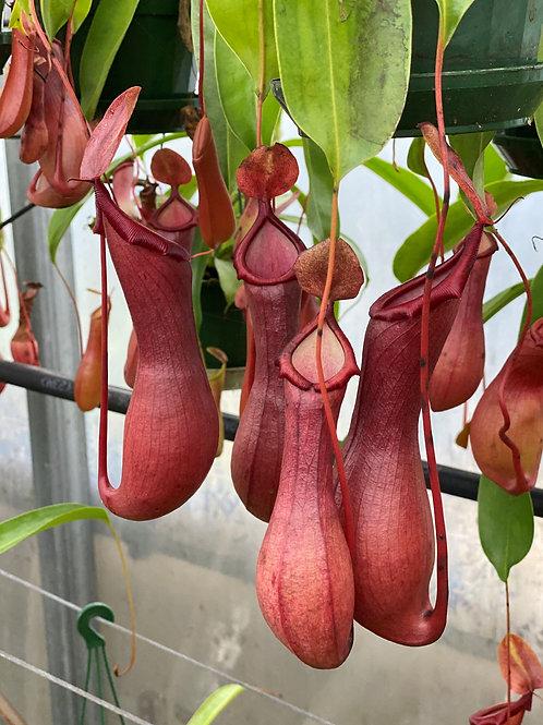 Nepenthes ventrata x 5 plants $140