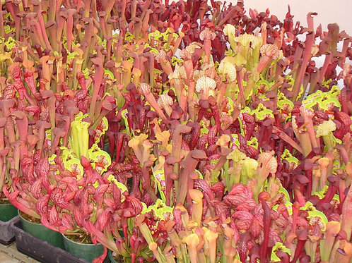 Sarracenia Low Growing 100mm pot size x 10 plants $66