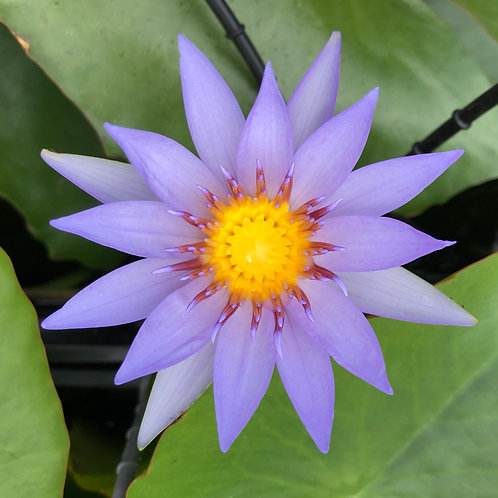 Water Lily - Nymphaea nouchali 'Blue Lily of India'