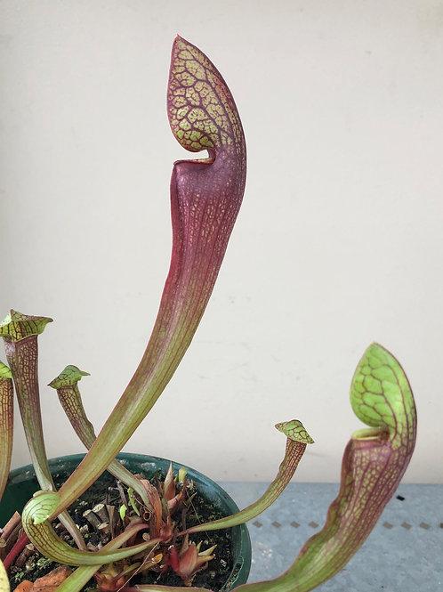 Sarracenia purpurea x psittacina x rubra $16
