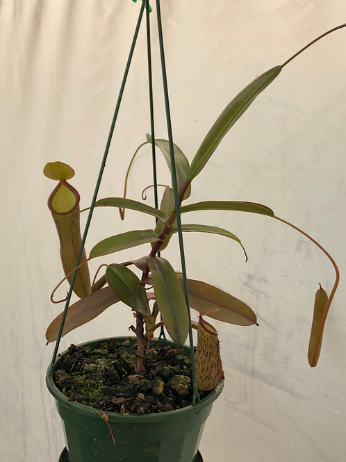 Nepenthes 'Black Knight' $50