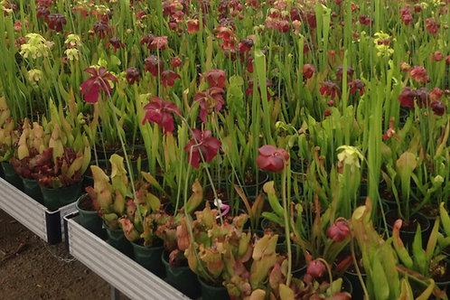 Sarracenia Tall Growing 120mm pot size x 5 plants $50