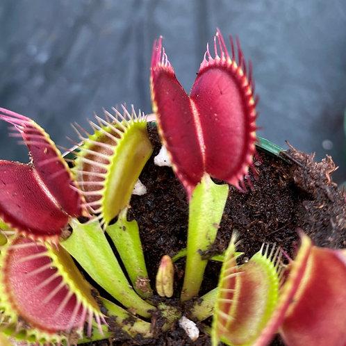 Dionaea muscipula 'DCXL' $25