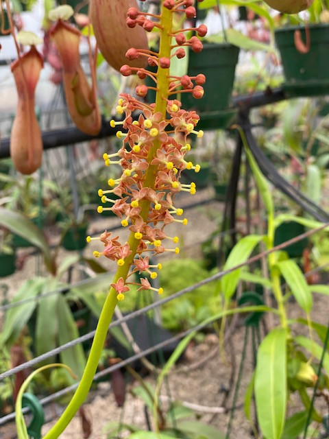 Nepenthes 'male' flower.jpg