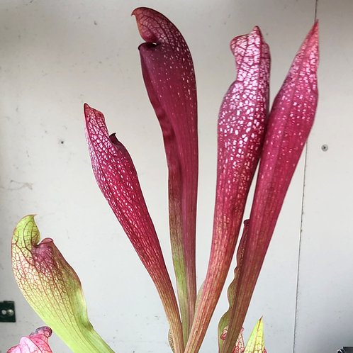 Sarracenia 'Decora' $16