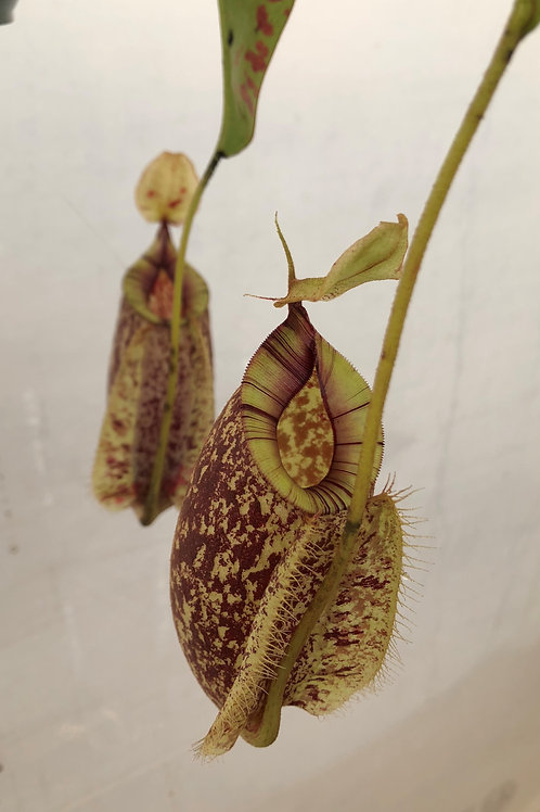 Nepenthes hookeri $30