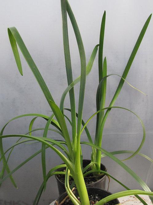 Water Ribbons - Triglochin procera