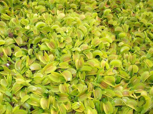 Dionaea muscipula bulk market variety x 10 plants $15