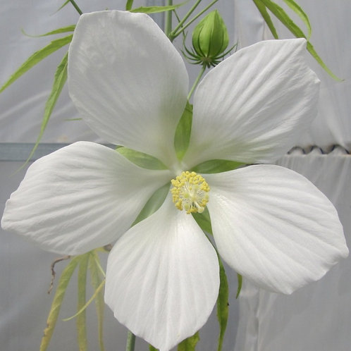 Water Hibiscus 'Texas Star' - Hibiscus coccinea 'alba'