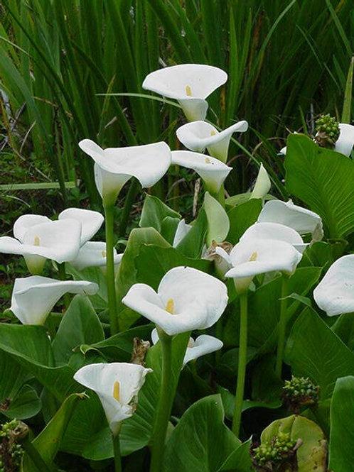 Dwarf Arum Lily - Zantedescia aethiopica