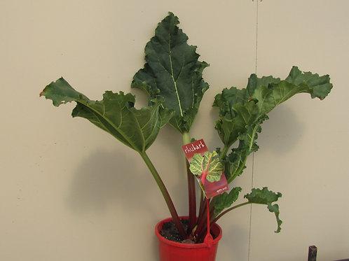 Rhubarb crowns - Rheum × hybridum x 3 crowns