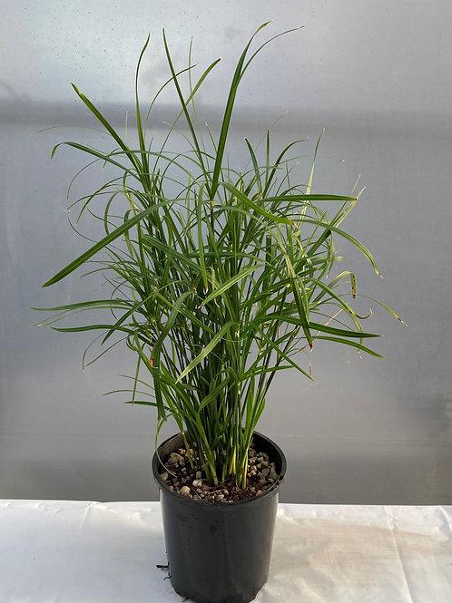 Umbrella Grass - Cyperus alternifolis