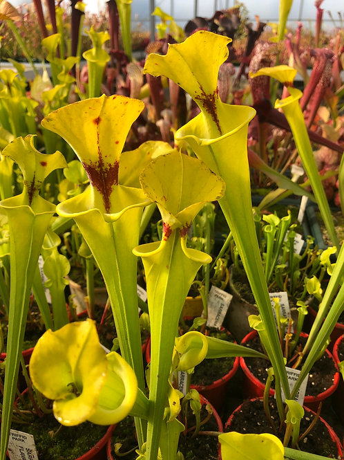 Sarracenia flava f. cut throat $14