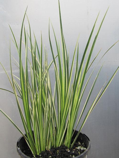 Japanese Variegated Sweet Flag - Acorus gramineus 'variegatus'