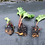 Thumbnail: Rhubarb crowns - Rheum × hybridum x 3 crowns