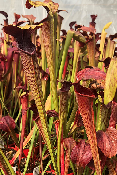 Sarracenia alata f. red throat  $20