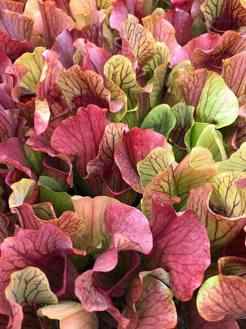 Sarracenia purpurea ssp. purpurea f. heterophylla x rubra $16