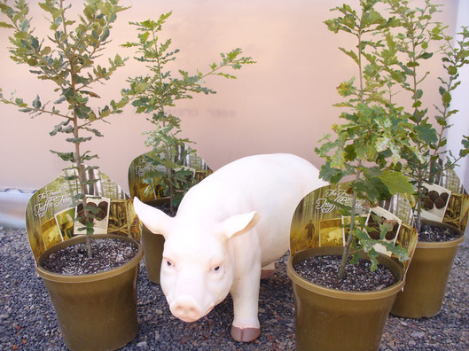 Mr Piggy and Truffles.JPG