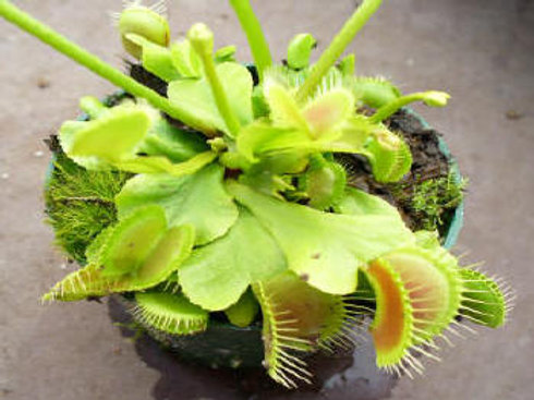 Dionaea muscipula 'Red Green' $6