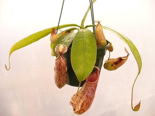 Nepenthes varieties x 5 plants $135
