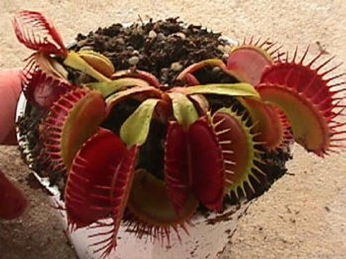 Dionaea muscipula 'Big Mouth' $8